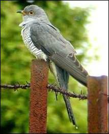 Le coucou est connu pour sa tendance à déposer ses œufs dans le nid d'autres oiseaux. Son chant caractéristique est annonciateur de la belle saison. Il appartient à la famille des :