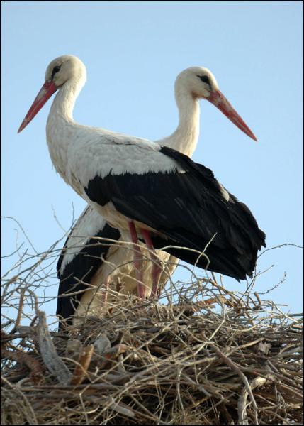 En Alsace on dit que c'est elle qui apporte les bébés. La cigogne pond entre 2 et 6 œufs couvés tour à tour par le mâle et la femelle. L'éclosion a lieu au bout d'environ :