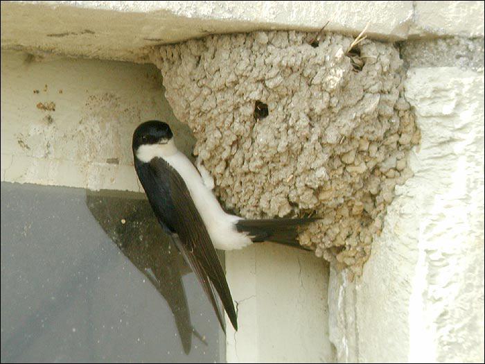 Cet oiseau migrateur revient chaque année à l'endroit où il nichait l'année précédente. On dit de lui qu'il symbolise le printemps. Il s'agit de :