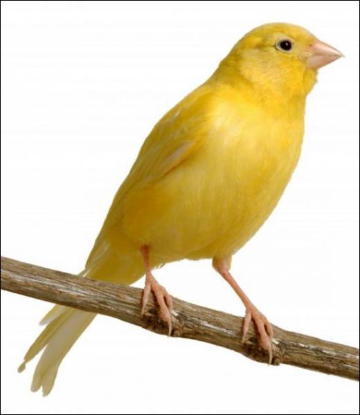 Le canari est un oiseau d'élevage appécié pour son chant et son plumage le plus souvent jaune. Quel est l'oiseau qui est à l'origine des espèces de canaris ?