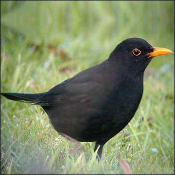 Quizz o comme oiseaux quiz oiseaux for Oiseau noir bec orange