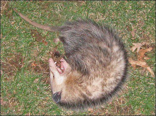 Menacé par un prédateur, cet animal peut faire le mort pendant 4H, ses glandes produisant une odeur de putréfaction.