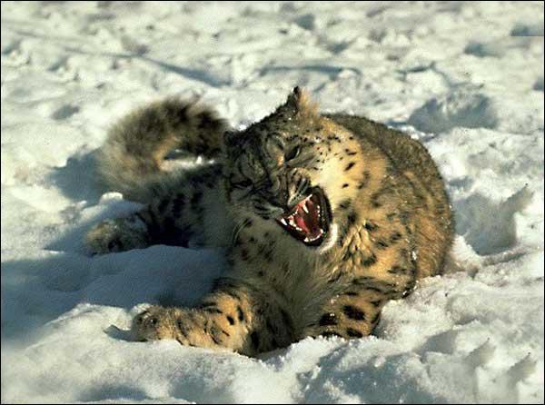 Quel est le record du léopard des neiges ?