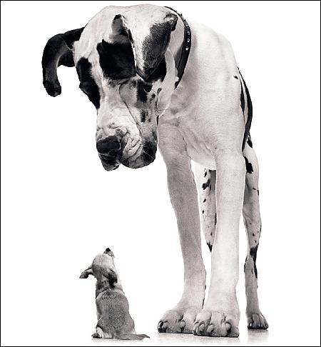 Ce chien est le plus grand du monde à ce jour, avec 109cm au garrot. Quelle est sa race ?
