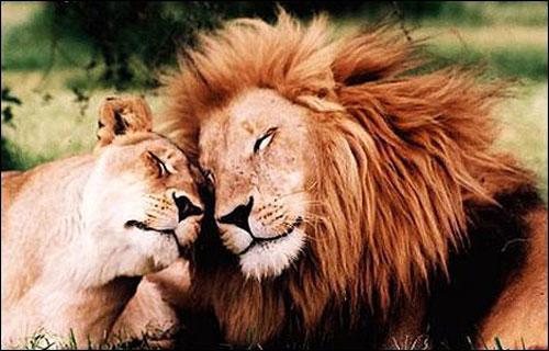 Quelle est la spécificité du lion ?