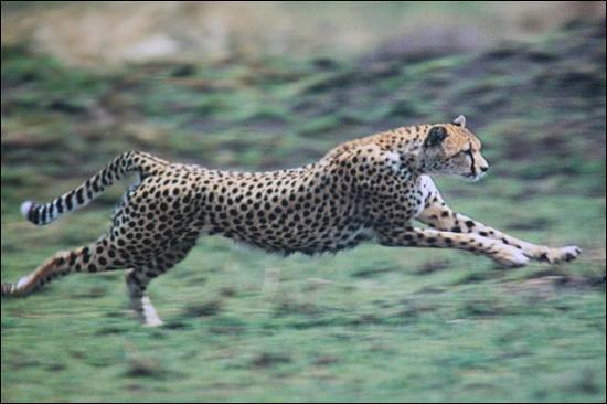 Le guépard court bien plus vite qu'un champion humain. Quelle est sa vitesse ?