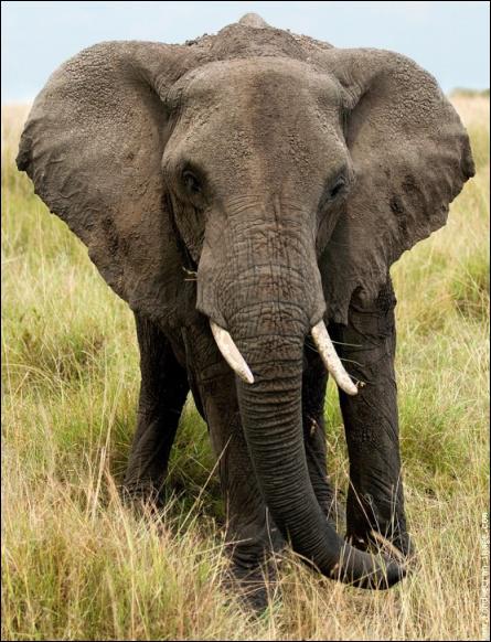 Cet éléphant adulte pèse autant que 100hommes et mesure 4, 5m de haut. De quelle espèce s'agit-il ?
