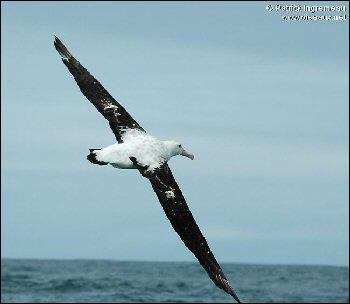 De tous les oiseaux il a la plus grande envergure (3, 5m d'une aile à l'autre). Il peut parcourir 500km par jour au-dessus des océans en quelques coups d'ailes. Qui est-ce ?