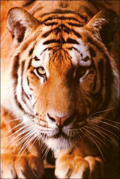 Quels records détient le tigre ?