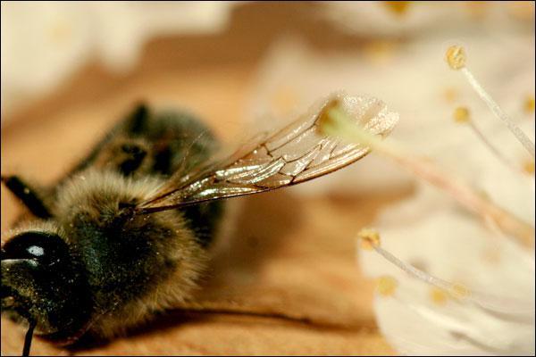 Quelle est l'espérance de vie des abeilles femelles de ruche ?