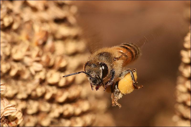 Parmi ces espèces d'abeilles à miel, laquelle vit en Europe ?
