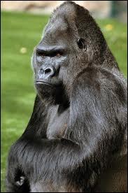 D'illustre chasseresse, elle portait le prénom Protégeant les gorilles, elle leur donna sa vieFace aux contrebandiers, fit barrage et dit non ! Et fut assassinée ! Le monde est-il pourri ?