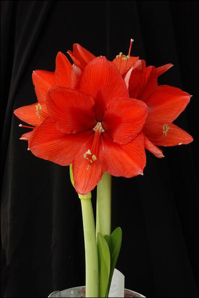 Quizz connaitre les plantes quiz plantes for Amaryllis royal red arrosage