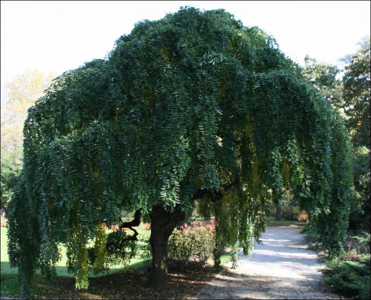 Quel est cet arbre à port pleureur ?