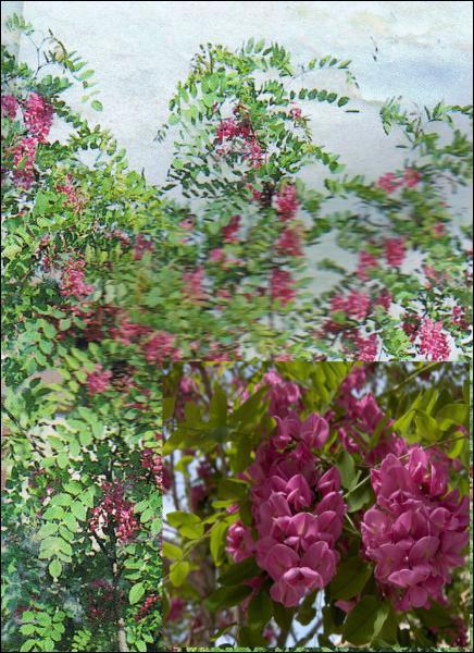 Quelle est cette variété d'acacia ?