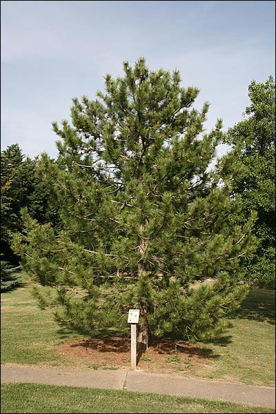 Quel est le nom de ce pin ?