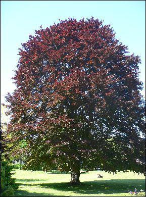 Quel est cet arbre à feuillage pourpre ?