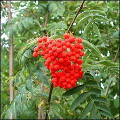 Dans quel arbre trouve-t-on ces fruits, appréciés des oiseaux ?