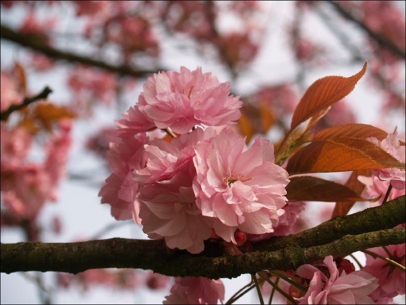Cet arbre perd facilement ses fleurs qui forment un magnifique tapis de fleurs à sa base. Il se nomme...