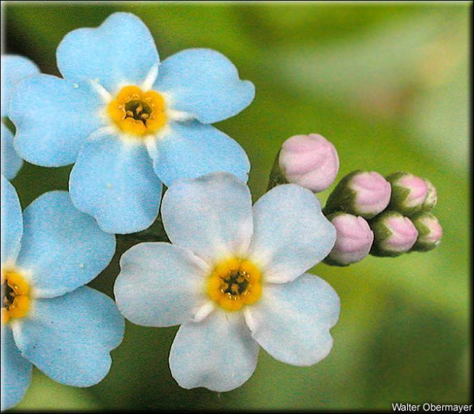 """Cette petite fleur signifie """"ne m'oubliez pas"""". Comment se nomme-t-elle ?"""