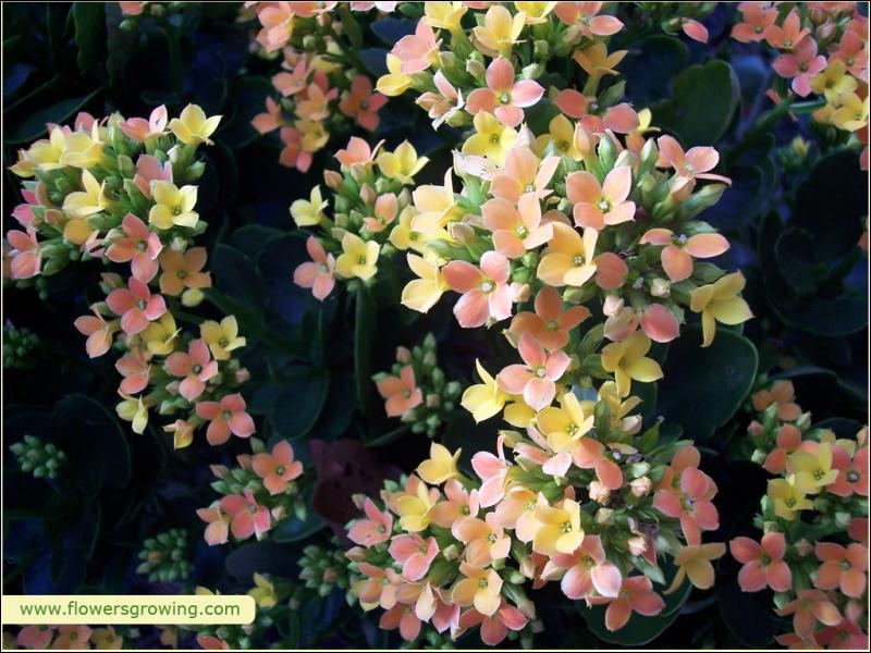 Cette plante se retrouve inévitablement chez les fleuristes. Certaines espèces ont plus de quatre pétales. Quelle est-elle ?