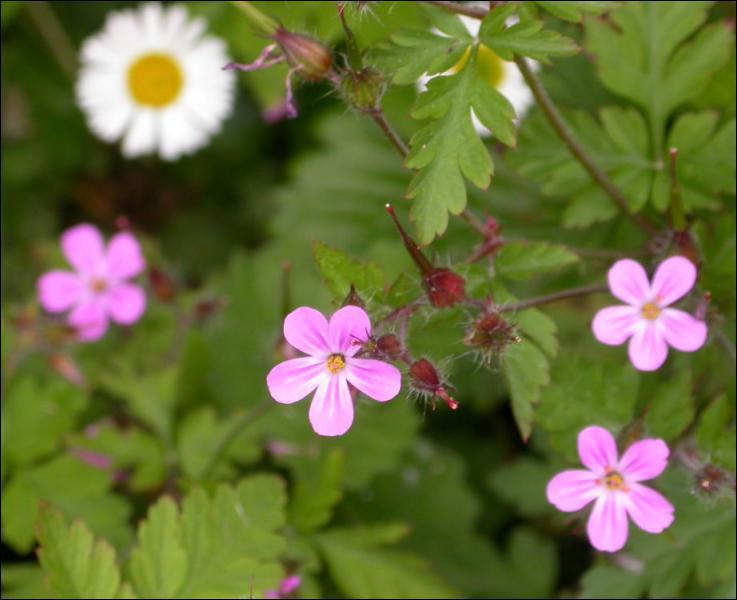"""Cette plante est très connue sur les balcons ; elle est également nommée """"herbe à Robert"""". C'est un(e) ..."""