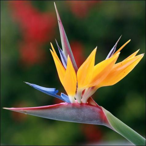 Cette fleur surprenante a un nom assez élégant, lequel ?