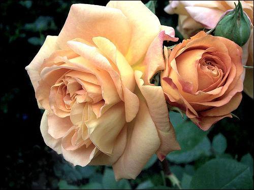 J'ai une passion pour la culture des roses.