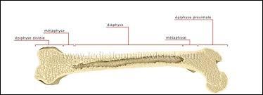 Quel est l'os le plus long du corps humain ?