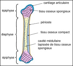 Quel os est classé dans la catégorie des os longs ?