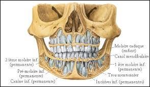 La mandibule est un os particulier car il porte les dents...