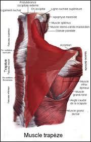 Comment s'appelle ce muscle qui couvre la nuque, l'épaule et une partie du tronc ?