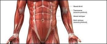 Lorsqu'il est très visible, le muscle grand droit de l'abdomen est surnommé...