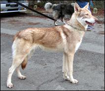 Le Saarlooswolfhound est originaire de quel pays ?