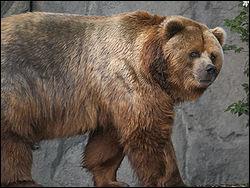 Quel est cet ours, le plus grand carnivore terrestre qui tient son nom d'une île de l'Alaska ?