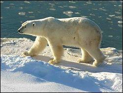 Où vit l'Ours polaire ?