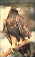 Quelle est l'envergure de l'aigle royal ?