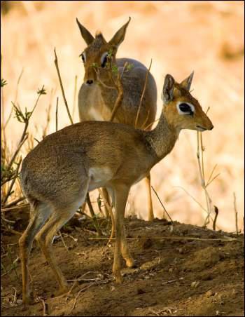 Le Dik Dik est une antilope, quelle est sa taille ?