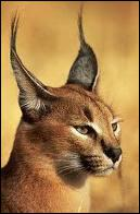 Quel est ce félin d'Afrique appelé aussi Lynx du Désert ?