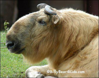Quel est cet animal qui vit exclusivement dans l'ouest de l'himalaya entre 2500 et 4300 m d'altitude ?
