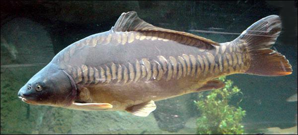 Ce poisson est très volumineux par rapport aux poissons avec lesquels il cohabite :