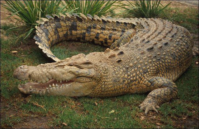C'est le reptile le plus connu d'Afrique :