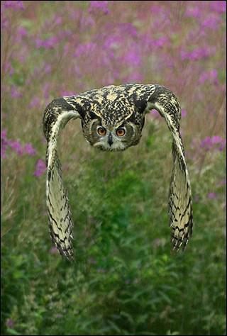 Cet oiseau nocturne se nourrit de souris et de petits oiseaux :