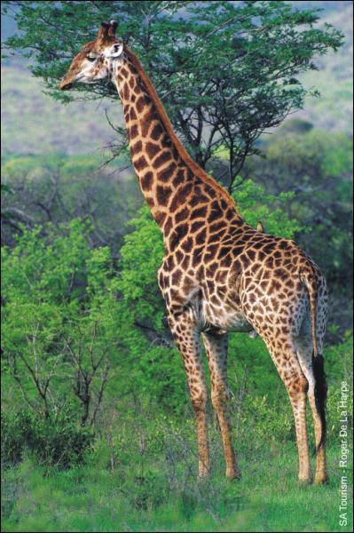 Ce mammifère a un long cou pour atteindre les feuilles juteuses de l'acacia :
