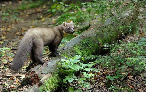 Ce mustelidé chasse les écureuils à travers les arbres :
