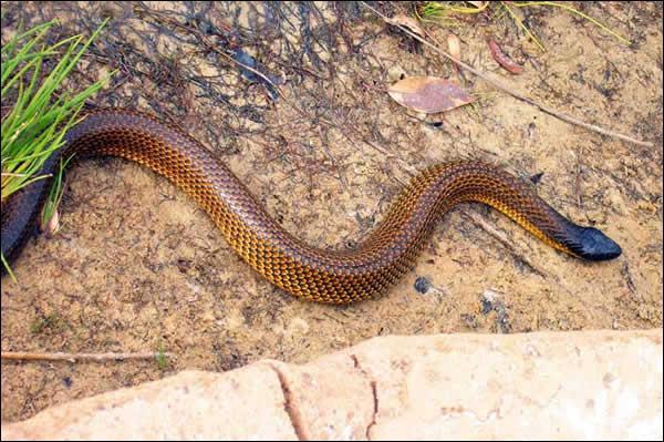 De quel serpent s'agit-il ?