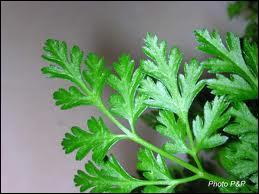 Il est décoratif et aromatique, il accompagne les potages, les viandes mais à moindre dose que le persil, c'est :
