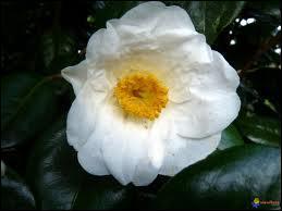 Arbre à fleurs blanches :