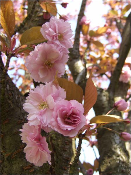 Quel arbre donne des fleurs roses très décoratives mais pas de fruits ?