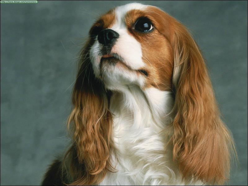 Voici trois affirmations sur les chiens anglais : laquelle est FAUSSE ?